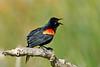 RedWingBlackbird-LAWD-Fl-3-17-17-SJS-002