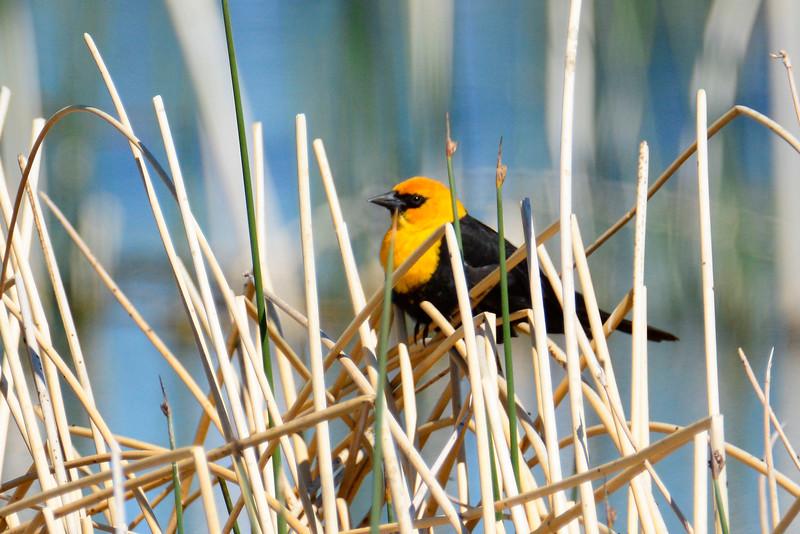 Yellow-HeadedBlackbird-GlacierNP-2016-SJS-003