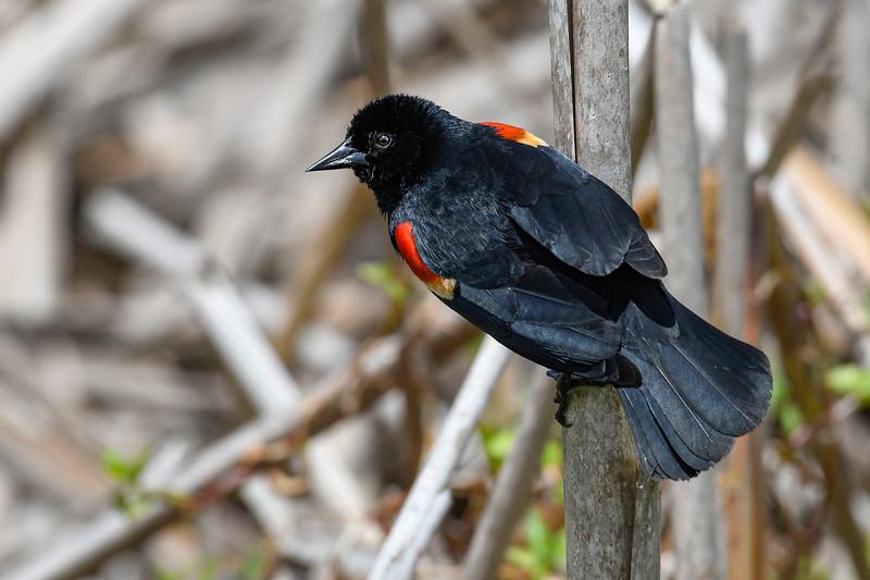 RedWingedBlackbird-MerrittIslandNWR-5-1-19-SJS-001
