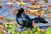 Boat-tailedGrackle-EmeraldaMarsh-2-27-19-SJS-004