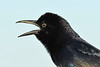 BoatTailedGrackle-EmeraldaMarsh-1-28-20-SJS-001