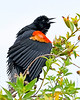 RedWingBlackbird-EmeraldaMarsh-4-6-20-SJS-002