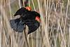 RedWingedBlackbird-MaumeeBaySP-5-8-18-SJS-004