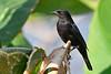 BronzedCowbird-NewtonPark-11-21-19-SJS-003