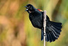 RedWingedBlackbird-LAWD-3-1-20-SJS-001