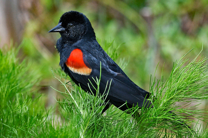 RedWingedBlackbird-MerrittIslandNWR-5-1-19-SJS-003