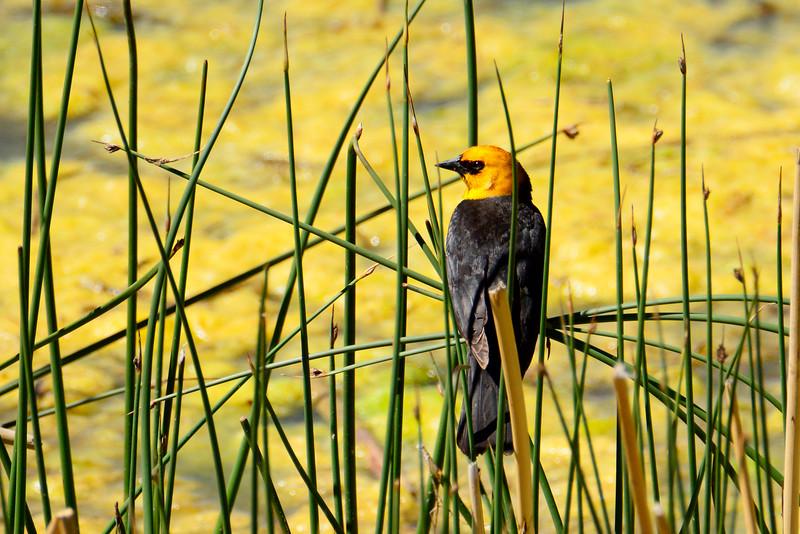 Yellow-HeadedBlackbird-GlacierNP-2016-SJS-001