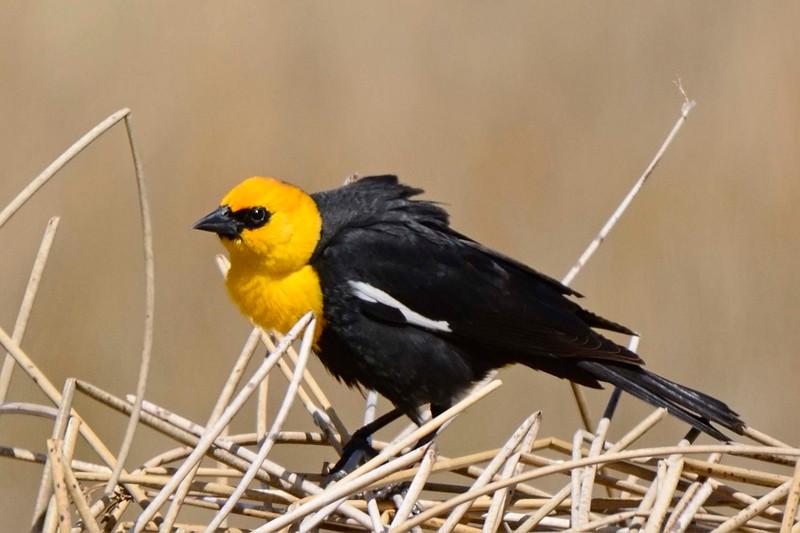 YellowHeadedBlackbird-CO-2015-008