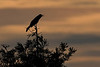 BoatTailedGrackleSunset-EmeraldaMarsh-1-26-20-SJS-002