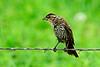 ImmatureRedwingBlackbirdBadlandsSD-2016-SJS-001