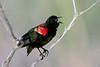 RedWingedBlackbird-LAWD-FL-2-10-17-SJS-02