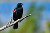 Red-WingedBlackbird-LAWD-2-23-19-SJS-001
