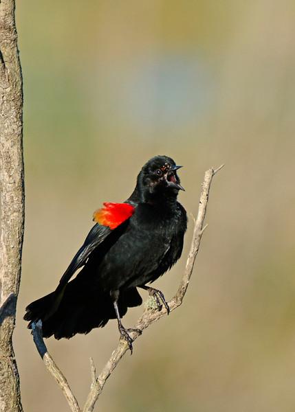 RedWingedBlackbird-LAWD-FL-2-10-17-SJS-13