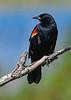 Red-WingedBlackbird-LAWD-2-23-19-SJS-002
