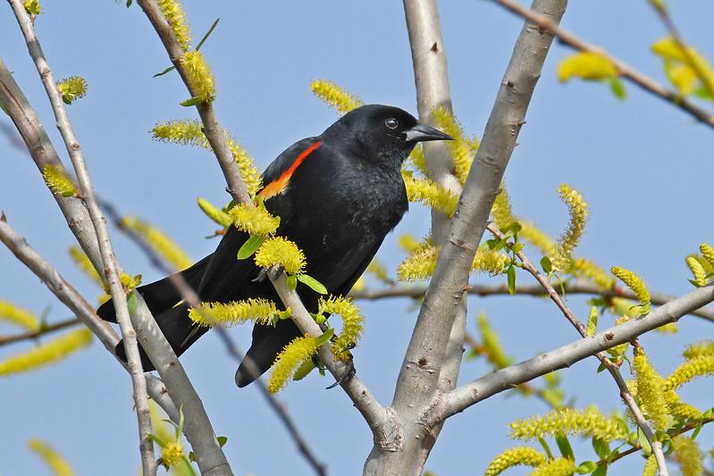 Red-WingedBlackbird-LAWD-2-3-18-SJS-001