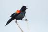 RedWingedBlackbird-LAWD-2-24-17-SJS-002