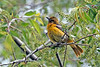 OrchardOriole-MM-5-16-17-SJS-001