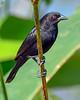 BronzedCowbird-NewtonPark-11-21-19-SJS-008