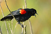 RedWingBlackbird-LAWD-2-20-17-SJS-001