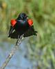 RedWingedBlackbird-LAWD-6-12-20-SJS-05