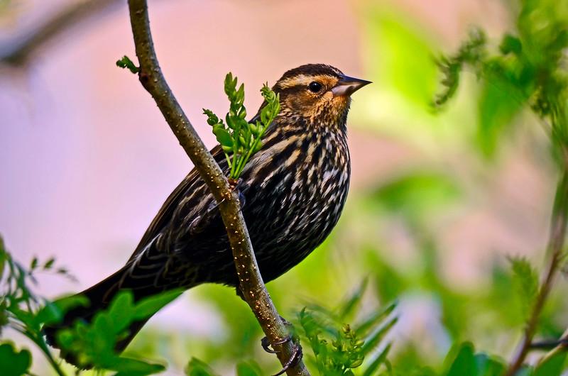 Red Wing Blackbird (female)