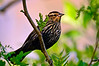 Red Wing Blackbird (female)