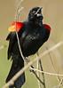 RedWingBlackbird-LAWD-2-10-17-SJS-004