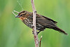 Red-wingedBlackbird(female)-LAWD-4-1-18-SJS-001