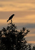 BoatTailedGrackleSunset-EmeraldaMarsh-1-26-20-SJS-001