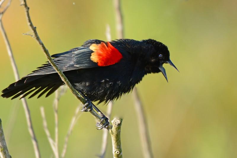 RedWingBlackbird-LAWD-FL-2-20-17-SJS-002