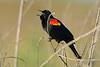 RedWingBlackbird-LAWD-2-10-17-SJS-008