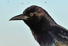 BoatTailedGrackle-EmeraldaMarsh-1-28-20-SJS-002