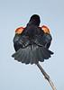 RedWingedBlackbird-LAWD-2-24-17-SJS-001