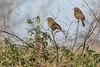 Red-wingedBlackbird-LAWD-1-11-19-SJS-001
