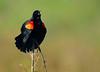 RedWingBlackbirdApopkaWildlifeDrive-2016-SJS-002