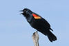 RedWingedBlackbird-SweetwaterWetlands-3-11-20-SJS-002