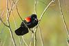 RedWingBlackbird-LAWD-2-20-17-SJS-002