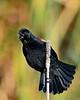 RedWingedBlackbird-LAWD-3-1-20-SJS-002