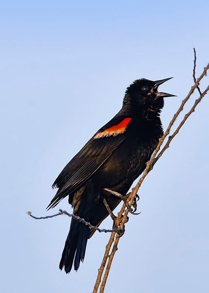 RedwingedBlackbird-EmeraldaMarsh-3-29-19-SJS-002