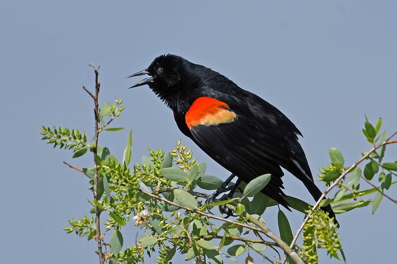 Red-wingedBlackbird(male)-LAWD-4-1-18-SJS-001
