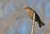 Red-WingedBlackbird-LAWD-9-7-18-SJS-001