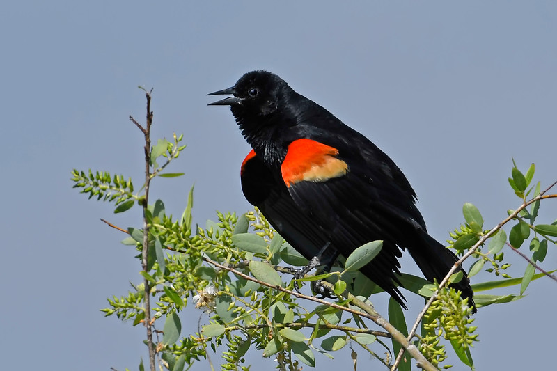 Red-wingedBlackbird(male)-LAWD-4-1-18-SJS-002