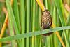 RedWingBlackbird-EmeraldaMarsh-4-8-20-SJS-002