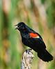 RedWingedBlackbird-LAWD-6-12-20-SJS-02