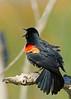 RedWingBlackbird-LAWD-Fl-3-17-17-SJS-001