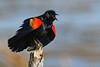RedWingedBlackbird-LAWD-6-14-20-SJS-02