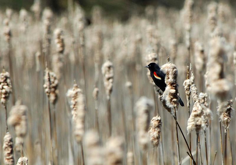 RedWingBlackbird-05-15