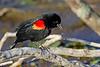 RedWingedBlackbird-LAWD-FL-2-10-17-SJS-11
