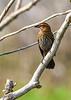 RedwingedBlackbird(female)-LAWD-12-16-18-SJS-001