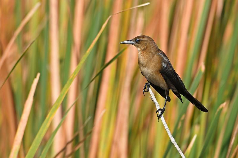 Boat-tailedGrackle(female)-LAWD-12-2-18-SJS-002
